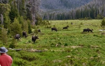 Moose are like hippos in Africa, dangerous